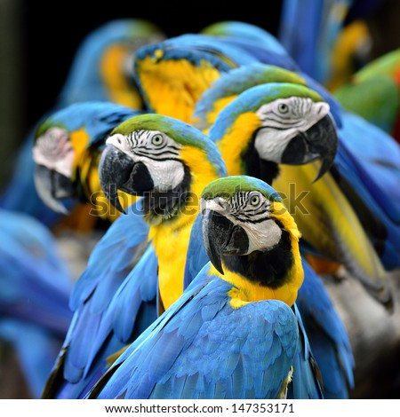 Many of Blue and Gold Macaw perching together with very warm moment - stock photo