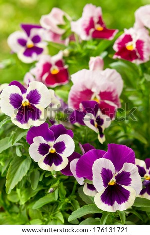 Many pansy flowers in purple and red color, colour - stock photo