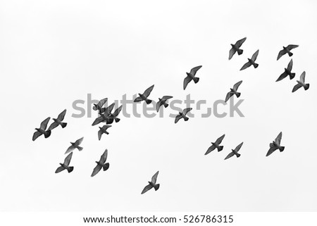 Many pigeons birds flying in the sky. Black and white