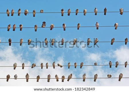 many pigeons placed on wires of the electricity grid - stock photo