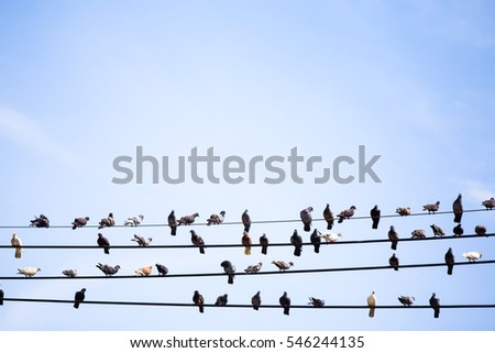 Many Pigeons resting on cable