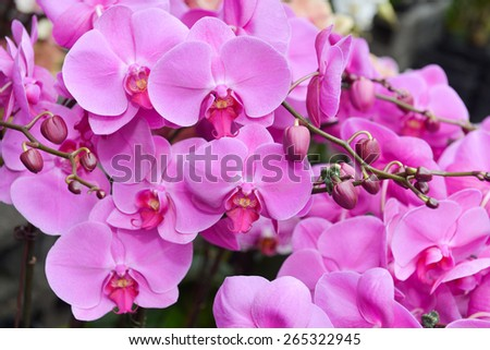Many pink orchid blooming in the garden