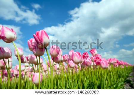 many pink tulips on spring Dutch field - stock photo