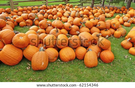 Many pumpkins on a lush lawn with cedar fence - stock photo