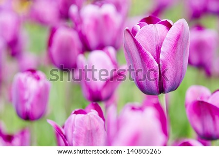 Many purple tulips blooming in spring in a field