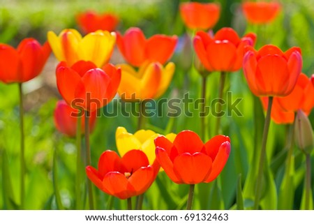 Many red and yellow tulips on green background in summer