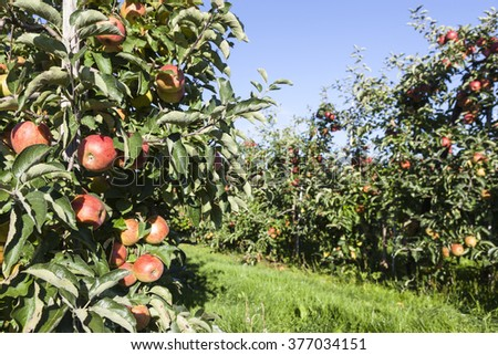 many red apples in orchard full of apple trees in sunlight with blue sky ready for harvest