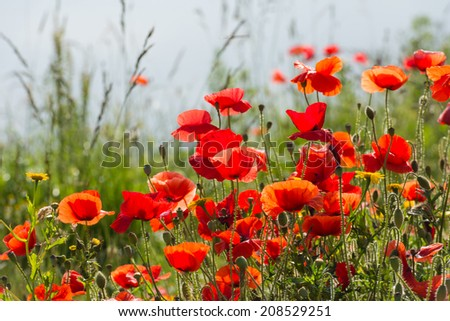 Many red poppies blooming throng among the other plants on the waterfront. - stock photo