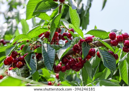 many red ripe cherries on a tree - stock photo