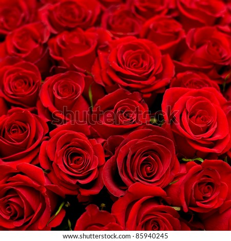 many red roses shot in shallow DOF - stock photo