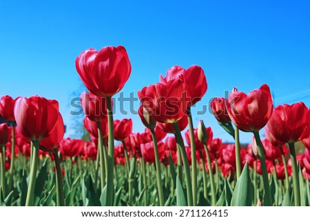 Many red tulips in a flowerbed on a sunny day - stock photo