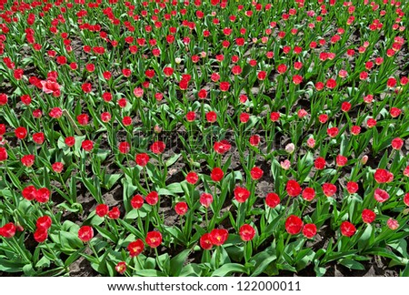 Many red tulips on flower bed, top view