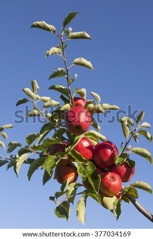 many ripe red apples on branch of apple tree in sunlight and blue sky - stock photo