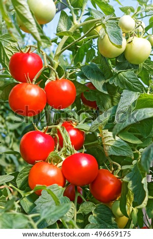 Many rounded red and green tomato fruits ripening in greenhouse in sunny summertime