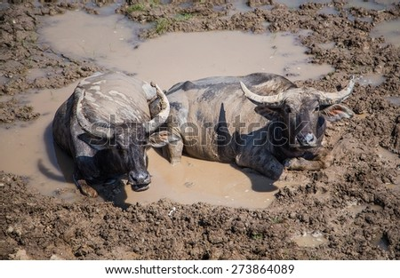 Many Sea Buffalos eating grass in Talay Noi is a river basin at the topmost of Songkla Lake. Phatthalung Province, Thailand. - stock photo