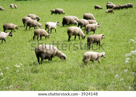many sheep grazing in green green field