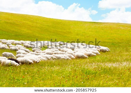 Many sheep grazing in the field on sunny day - stock photo