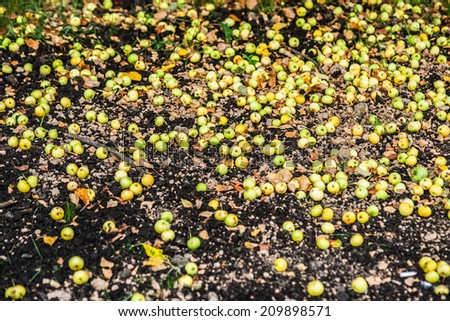 Many small green apples distributed on the ground under an apple tree. Nobody to harvest new crop - stock photo