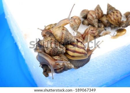 many snails holing on foam while floating - stock photo