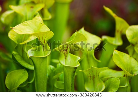 Many specimen of pitcher plants in the garden - stock photo