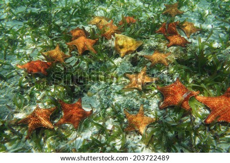 Many starfish underwater with a queen conch shell, Caribbean sea - stock photo