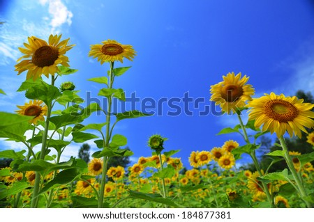 many sunflowers with blue sky as the background - stock photo