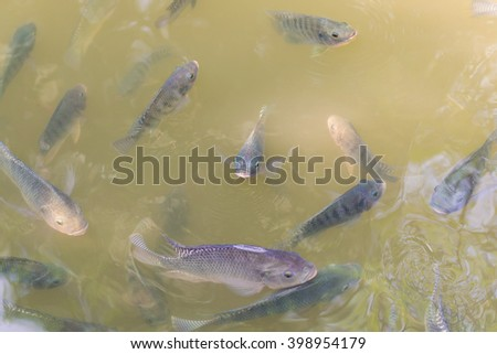 Many Tilapia Fish in the fish ponds. - stock photo