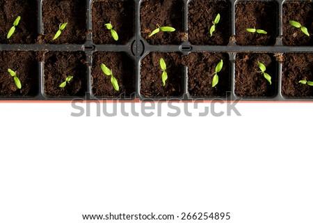 many tomatoe seedlings growing in black pot - stock photo