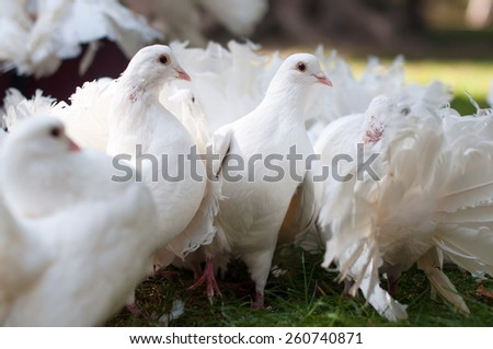 Many white doves in a wedding ceremony