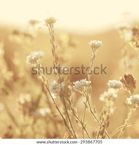 many white flowers on yellow background. Vintage evening field natural background - stock photo