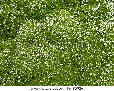 Many white small  flowers in top view of meadow - stock photo
