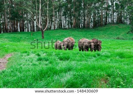 many wild Elephants grazing green grass in forest meadow. elephant family in adventure safari trek in mountain of Munnar Kerala India. - stock photo