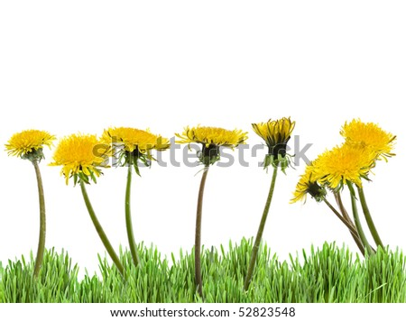 many yellow dandelions in green grass on white background (taraxacum officinale) - stock photo