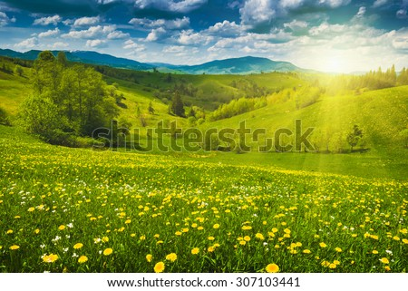 Many yellow flowers in a spring meadow. Carpathian mountain valley - stock photo