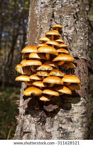 Many yellow mushrooms on a tree trunk