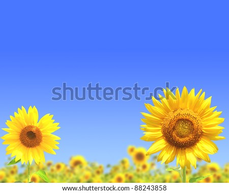 Many yellow sunflowers and blue sky - stock photo
