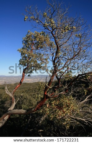 Manzanita tree on a mountain side in the desert, San Diego County, California - stock photo