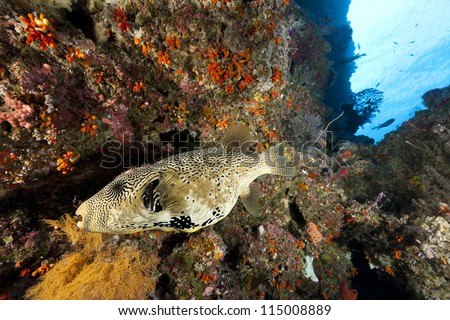 Map Puffer (Arothron mappa) swimming with other fish on a coral and sponge encrusted sea wall off the island of Palau in Micronesia. - stock photo