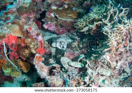 Map puffer fish - stock photo