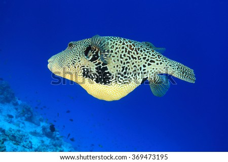 Map pufferfish (Arothron mappa) underwater in the tropical coral reef  - stock photo