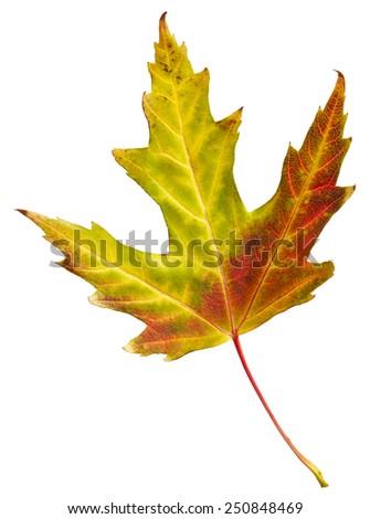 Maple autumn leaf isolated on white background - stock photo