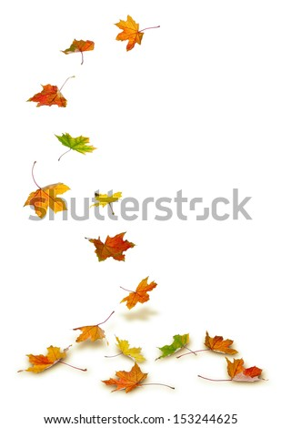 Maple autumn leaves falling to the ground, on white background.