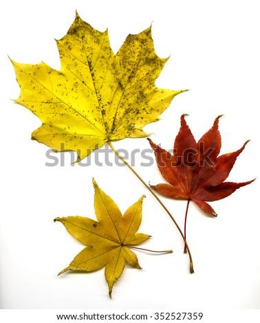 Maple Autumn leaves  on white background in studio setting - stock photo