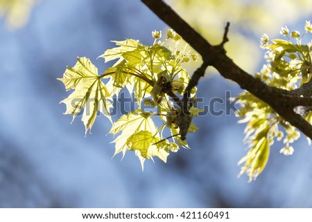 Maple branch with bright green leafs during spring, blue sky in the background - stock photo