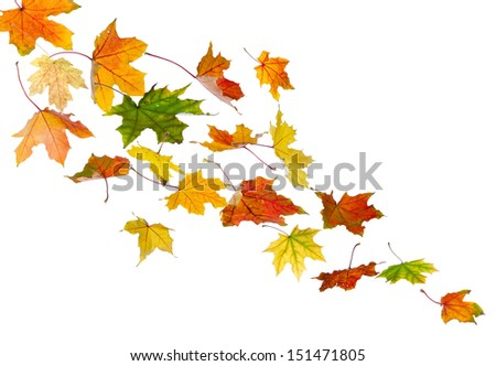 Maple colored autumn falling leaves, isolated on white background.