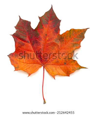 Maple colorful autumn leaf isolated on white background - stock photo