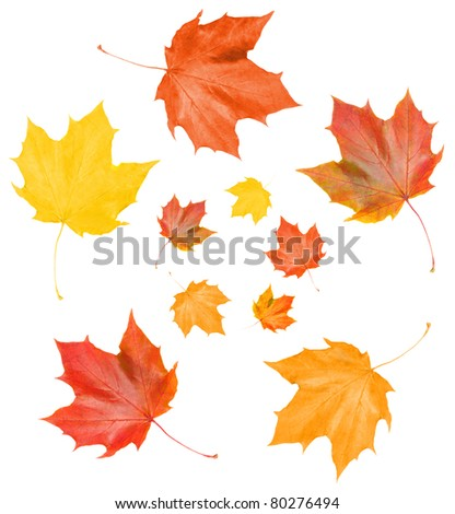 maple fall leaves on white backgrounds - stock photo