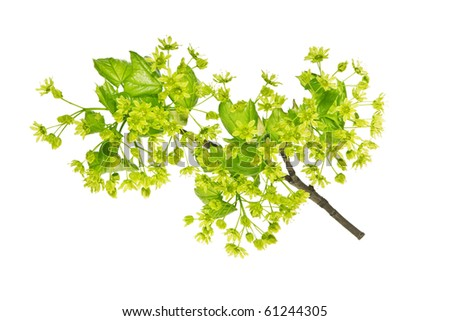 maple flowering branch - stock photo