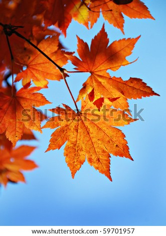 Maple foliage against sky, autumn - stock photo
