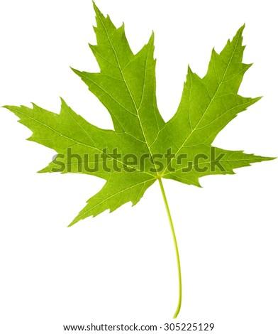 Maple green leaf isolated on white background - stock photo